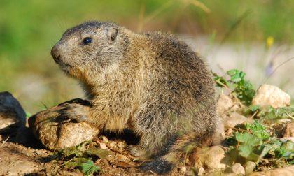 Il risveglio delle marmotte Quindicimila sulle Orobie