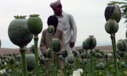 Il 2013 è stato l'anno record per la coltivazione mondiale di oppio