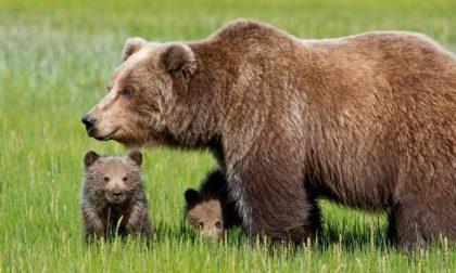 """Quanti orsi ci sono in Italia? Ora attenzione al """"Biondo"""""""