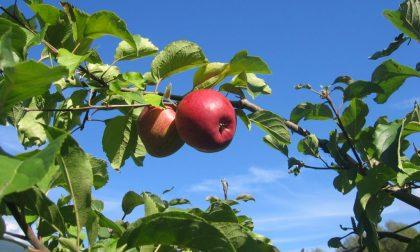 Per Bergamo è il tempo delle mele Coltivazioni raddoppiate in 10 anni