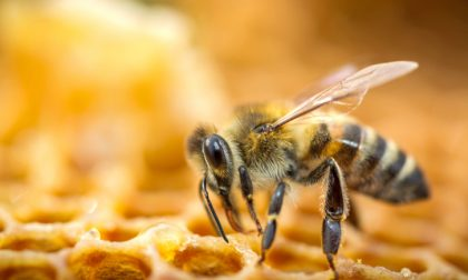 Scoperto il killer delle api È un batterio con un brutto nome