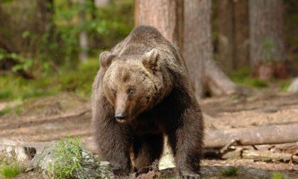 L'orso bruno sulle Orobie