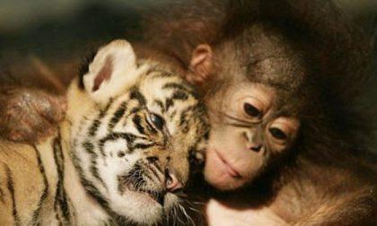 Giocare è già scritto nel Dna La scimmietta lo insegna ai tigrotti