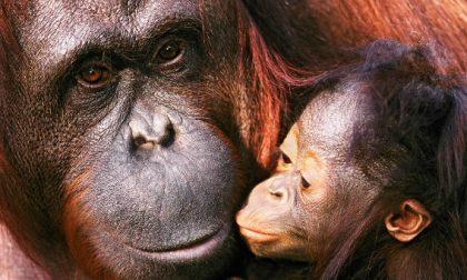 Libera perché «persona non umana» Stiamo parlando di un orangotango