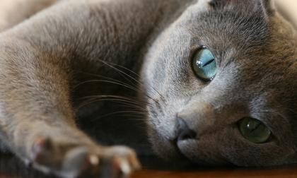 I 10 gatti più costosi del mondo