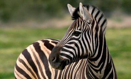 Perché le zebre sono a righe b/n È una cosa seria e scientifica