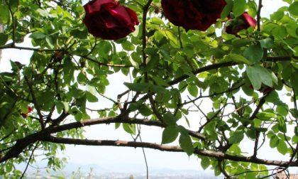Veduta tra le rose, da Palazzo Moroni
