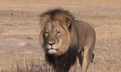 Non si uccide così un re leone La caccia grossa al turista killer