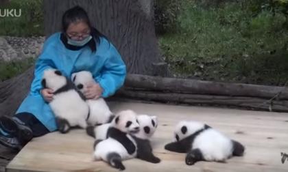 AAA cercasi coccolatrici di panda In Cina pagano fino a 30mila euro