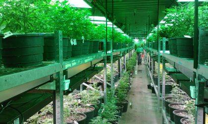Coltivano in una cascina abbandonata 3 mila piante di marijuana: in manette tre albanesi