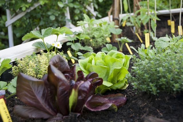 lettuce-672930_640