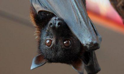Ascoltare le voci dei pipistrelli Nuova Bat Night in Città Alta