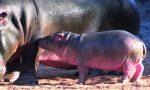 Scelto il nome per il cucciolo di ippopotamo delle Cornelle: benvenuto MotoMoto
