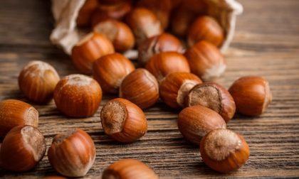 Nel frantoio non olive, ma nocciole Ecco l'olio made in Cologno al Serio