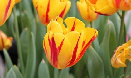 La carica dei duemila tulipani L'orto botanico dà spettacolo