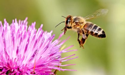 Come difendersi dalle punture d'ape