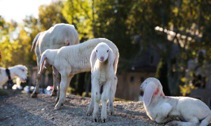 Mura, la carica delle 300 pecore E domenica una mandria in centro