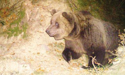 Val Brembana, tornato l'orso bruno M18 ha sei anni e arriva dal Trentino