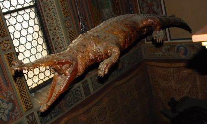 Il mitico coccodrillo di Ponte Nossa è stato ricoverato in clinica