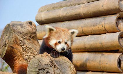 Le Cornelle, la stagione dell'amore parte da panda minori e fenicotteri