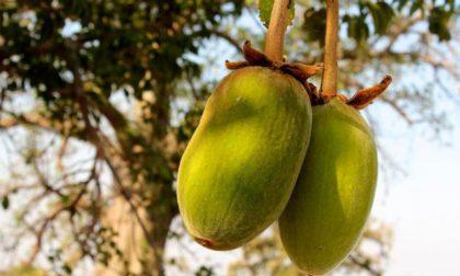 Gli incredibili benefici del baobab