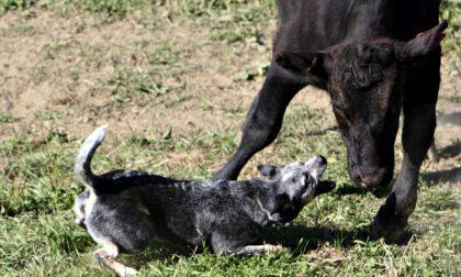 Il campionato dei cani da pastore Appassionati e curiosi in Valsassina