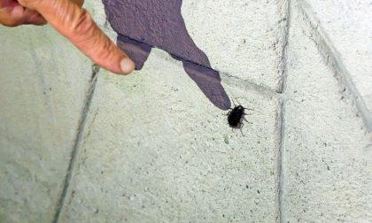 Scarafaggi, scarafaggi dappertutto A Dalmine si cerca una soluzione