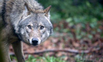 In Veneto c'è un serio problema lupi e si vuole consentirne l'uccisione