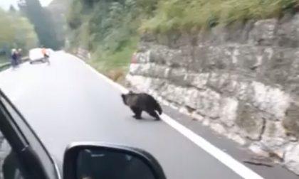 Mamma orsa con cucciolo in strada Il video sulla Statale 42, al Tonale
