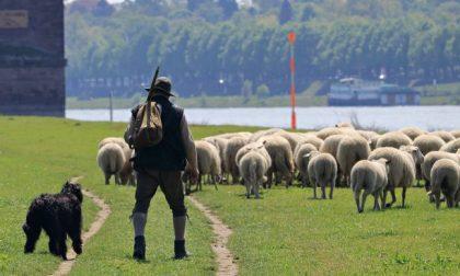 Quel pastore errante di Antegnate che porta le pecore sulla BreBeMi