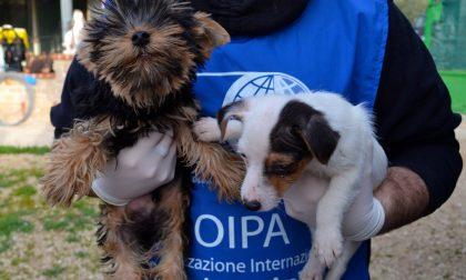 Bergamo, traffico illecito di cuccioli Smantellata gang internazionale