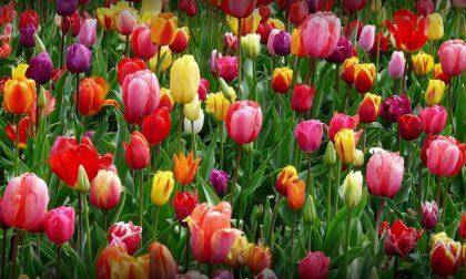 Nell'Isola sta sbocciando Tulipania Un'oasi di bellezza aperta a tutti