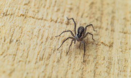 La carica del temibile ragno violino Ultimo avvistamento vicino a Lecco