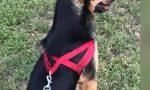Uomini che odiano i cani a Stezzano Gandalf, avvelenato ma salvato