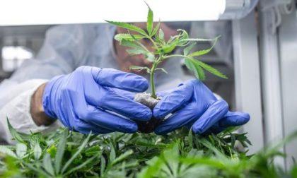 Cannabis light: stop alla vendita Pare di sì, ma forse anche no