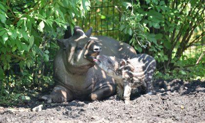 Il benvenuto alla piccola tapira Lodi Parco Le Cornelle, nascita inattesa