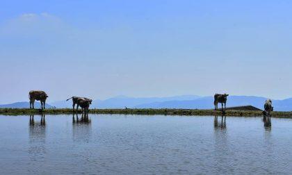 Mucche al pascolo sulla Presolana – Stefano Cambareri