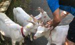 La coppia di Mozzo che ha salvato tre caprette che s'erano perse