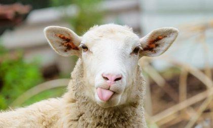 Belle le pecore, ma il problema è quando passano da Grassobbio