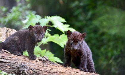 Doppio fiocco al parco Le Cornelle Nati due cuccioli di pantera nera