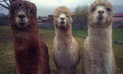 Che ci fa una alpaca a Casnigo? È il futuro della Val Gandino