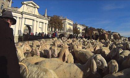 Le mucche sfilano in Città Bassa Le pecore passano tra le Mura