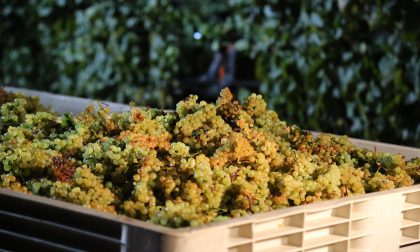Vino, produzione in calo del 16% Un focus sullo Chardonnay