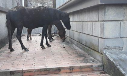 Trambusto a Gandino: dei cavalli scappano e finiscono a scuola