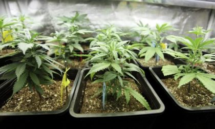 La Cassazione sulla cannabis: si può coltivare per uso personale
