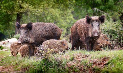 Scorribande dei cinghiali in Val Seriana, oltre al danno la beffa dei rimborsi ridicoli ai contadini