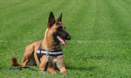 Polizia Locale, in arrivo il cane antidroga. Ballottaggio sul nome: Sniff o Tenài?