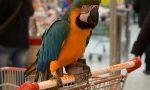 Martina, pappagallo di vent'anni, è andata a fare la spesa a Curno