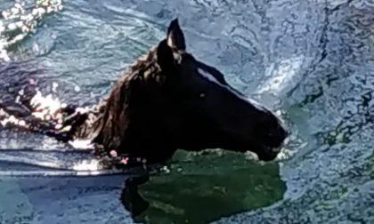 Cavallo cade in un canale a Casnigo dopo la fuga dal maneggio: salvato dai Vigili del Fuoco