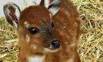 """Fiocco rosa a Le Cornelle: una nuova """"Bambi"""" (ma è un'antilope)"""